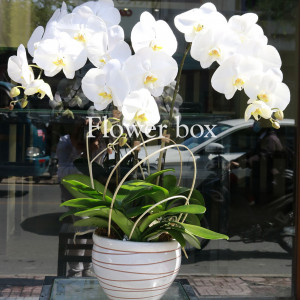 Lan Hồ Điệp trắng 3 cành - FBOR 050