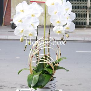 Lan Hồ Điệp trắng 2 cành - FBOR 037