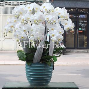 Lan Hồ Điệp trắng 12 cành - FBOR 035